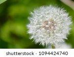 dandelion in garden   Shutterstock . vector #1094424740