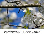 cherry blossom and blue sky   Shutterstock . vector #1094425034