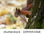 Small photo of A squirrel (sciurus, tamiasciurus) on a tree with a nut in its mouth