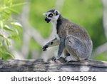 a lemur in a zoo | Shutterstock . vector #109445096