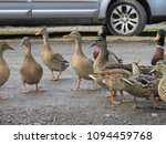 curious wild ducks on the road...   Shutterstock . vector #1094459768