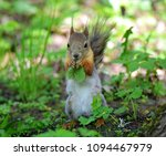 beautiful squirrel eating leaf... | Shutterstock . vector #1094467979