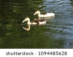 white duck. young white ducks... | Shutterstock . vector #1094485628
