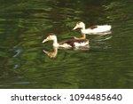 white duck. young white ducks... | Shutterstock . vector #1094485640