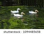 white duck. young white ducks... | Shutterstock . vector #1094485658