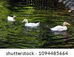 white duck. young white ducks... | Shutterstock . vector #1094485664