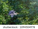 gray heron  ardea cinerea ... | Shutterstock . vector #1094504978