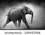 Baby Elephant Running In Dust ...
