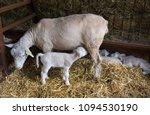 new born lamb suckling milk... | Shutterstock . vector #1094530190