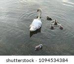 beautiful romanian swan   Shutterstock . vector #1094534384