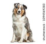australian shepherd dog sitting ... | Shutterstock . vector #1094569283