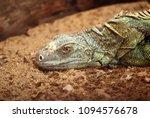 closeup common iguanas on the... | Shutterstock . vector #1094576678