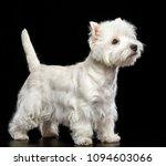 west highland white terrier dog ... | Shutterstock . vector #1094603066