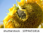Seeds In Wilted Sunflower