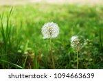 Dandelion Wildflower Blossom In ...