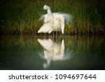 great egret    ardea alba in... | Shutterstock . vector #1094697644