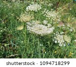 giant hogweed  plant of giant... | Shutterstock . vector #1094718299