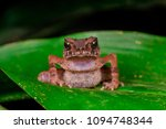 Small photo of Front view of angry brown Lesser Malacca Toad (Amphibia: Anura: Bufonidae: Ingerophrynus parvus) sitting on a green leaf isolated with soft background, during the night. Found near the forest stream