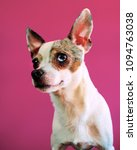 Small photo of Chihuahua merle fond rose