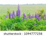 lupine in the wild  decor and... | Shutterstock . vector #1094777258