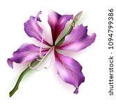 pink bauhinia purpurea isolated ... | Shutterstock .eps vector #1094799386