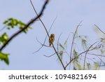 Small photo of Collared owlet in nature. / Collared owlet, Glaucidium brodiei (protonym, Noctua Brodiei)