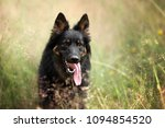 Small photo of Chod Dog, portrait in nature