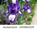 Close Up View Of An Iris Flower ...