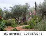 Ancient Olive Trees And Young...