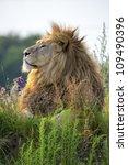 Backlit Proud Lion In The Last...