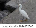 white snowy egret | Shutterstock . vector #1094909060