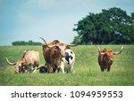 Texas Longhorn Cattle Grazing...