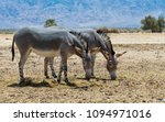 somali wild donkey  equus... | Shutterstock . vector #1094971016