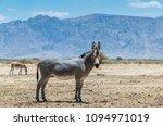 somali wild donkey  equus... | Shutterstock . vector #1094971019