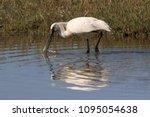 eurasian or common spoonbill in ... | Shutterstock . vector #1095054638