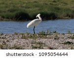 eurasian or common spoonbill in ... | Shutterstock . vector #1095054644