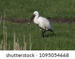 eurasian or common spoonbill in ... | Shutterstock . vector #1095054668