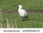 eurasian or common spoonbill in ... | Shutterstock . vector #1095054674