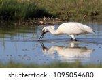eurasian or common spoonbill in ... | Shutterstock . vector #1095054680