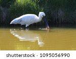 eurasian or common spoonbill in ... | Shutterstock . vector #1095056990
