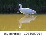 eurasian or common spoonbill in ... | Shutterstock . vector #1095057014