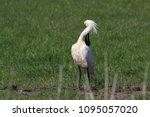 eurasian or common spoonbill in ... | Shutterstock . vector #1095057020