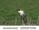 eurasian or common spoonbill in ... | Shutterstock . vector #1095057038