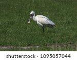 eurasian or common spoonbill in ... | Shutterstock . vector #1095057044