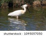 eurasian or common spoonbill in ... | Shutterstock . vector #1095057050