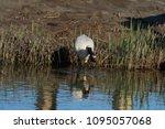 eurasian or common spoonbill in ... | Shutterstock . vector #1095057068