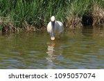 eurasian or common spoonbill in ... | Shutterstock . vector #1095057074