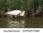 eurasian or common spoonbill in ... | Shutterstock . vector #1095057080
