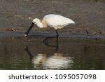 eurasian or common spoonbill in ... | Shutterstock . vector #1095057098