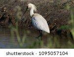 eurasian or common spoonbill in ... | Shutterstock . vector #1095057104